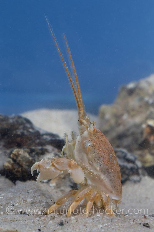 Antennenkrebs, Weibchen, Antennen-Krebs, Maskenkrabbe, Masken-Krabbe, Corystes cassivelaunus, Corystes dentatus, masked crab, helmet crab, sand crab, female