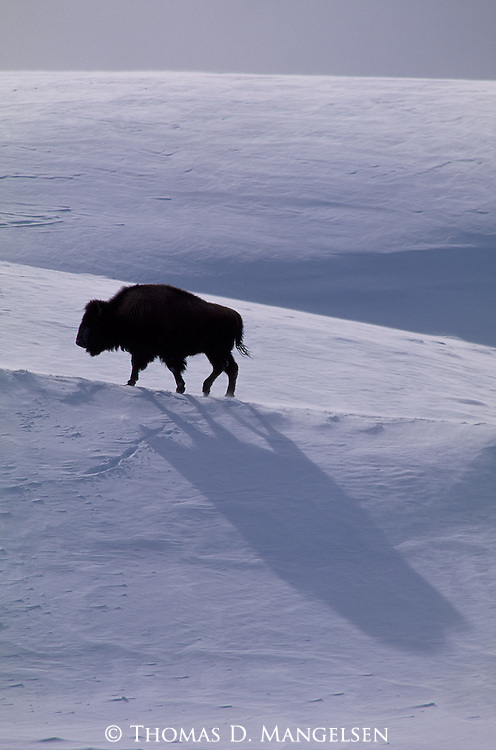 A bison trudges up a snow-covered hillside in Yellowstone National Park, Wyoming.