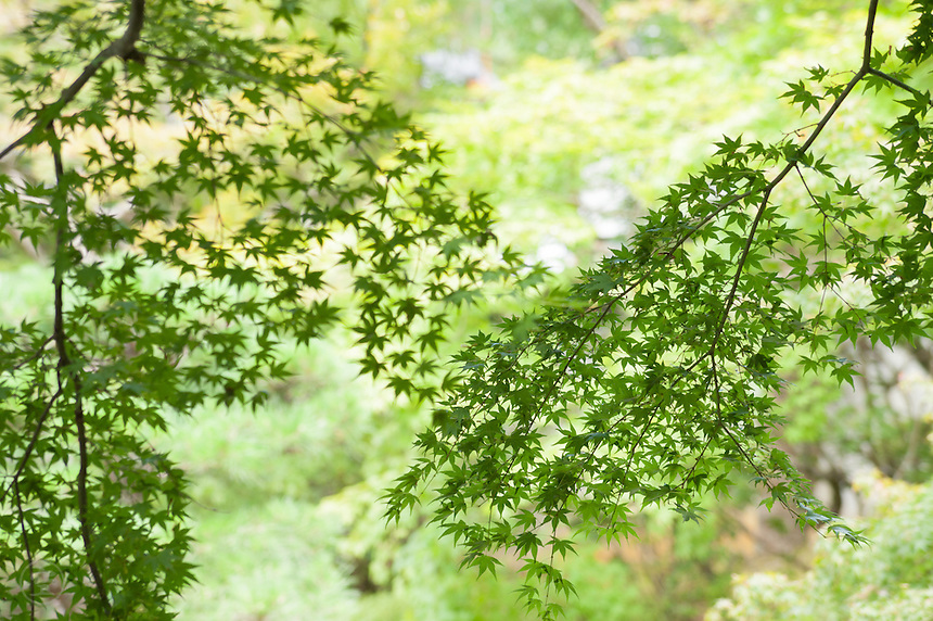 The delicate leaves of momiji maple against the green of a Japanese garden in summer.