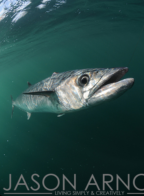 king mackerel, kingfish