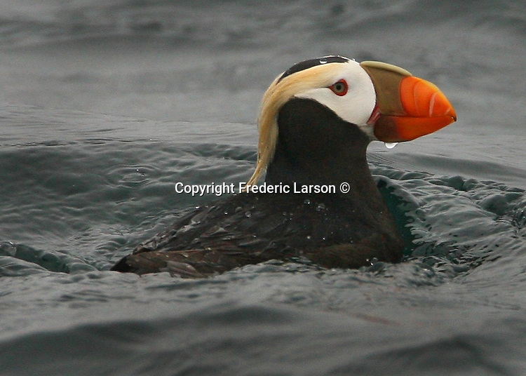 A puffin swims of the Farallon Island just west of the San Francisco Bay,  California.