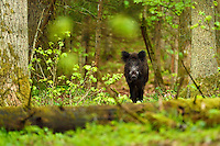 Wild boar, Sus scrofa, in the Old mixed conifer and broadleaf forest in the Punia forest reserve, not logged or hunted in for more than 70 years, Lithuania