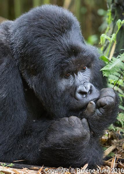 Gorilla Thinker1  Rwanda 2015