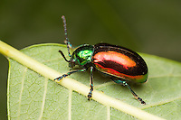 Dogbane Beetle (Chrysochus auratus), Bald Eagle State Park, Howard, Centre County, Pennsylvania