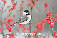 01299-032.01 Carolina Chickadee (Poecile carolinensis) in Common Winterberry (Ilex verticillata) in winter, Marion Co. IL