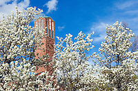 Flowering pear blooms with Carillion bell tower. (photo by Russ Houston / © Mississippi State University)