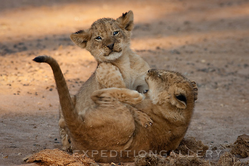African lion cub siblings playing together, Lower Zambezi National Park, Zambia. (This species is found in many African countries including South Africa, Botswana, Zambia, Zimbabwe, Namibia, Tanzania, Kenya, Rwanda, Uganda)