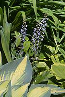 Hosta June in June with Salvia nemerosa 'Crystal Blue' in bloom