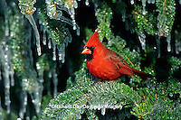 01530-139.02 Northern Cardinal (Cardinalis cardinalis) male in icy fir tree  Marion Co.  IL