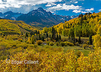 Aspen, Populus Tremula, Willow Swamp, Dallas Divide, Uncompahgre National Forest, Colorado