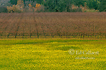 Winter Vineyard, Mustard, Healdsburg, Sonoma County, California