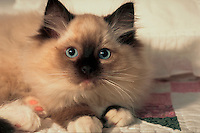 Portrait of a Ragdoll cat.