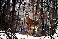 ANIMALS<br /> Whitetail Deer<br /> Stony Point, NY