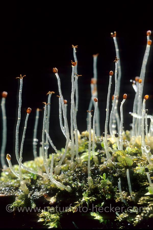 Verschiedenblättriges Kammkelchmoos, Verschiedenblättriges Kamm-Kelchmoos, Lophocolea heterophylla, variable-leaved crestwort, Lebermoos, Lebermoose, liverwort, liverworts