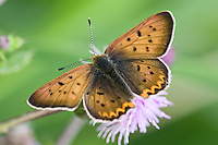 Purplish Copper Butterfly