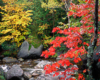 Maple and Birch trees along the Boquet River; Dix Mountain Wilderness; Adirondack and Preserve, NY