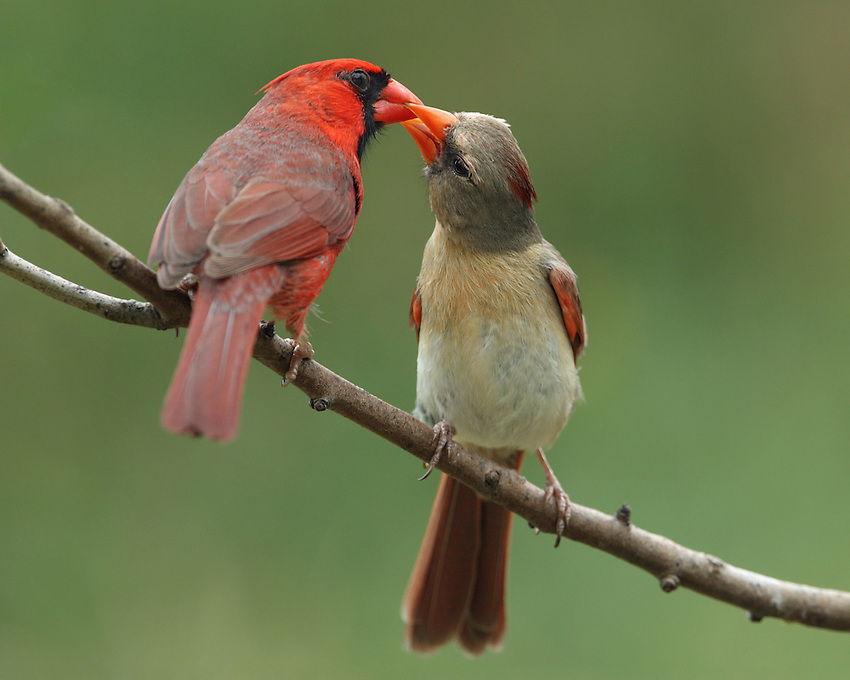 The male Northern Cardinal offers food to its mate during courtship, in this typical bonding behavior..<br />
