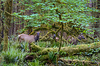 Roosevelt Elk (Cervus elaphus roosevelti) cows in Olympic National Park temperate rain forest, WA.  May.