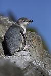 little penguin / blue penguin, new zealand
