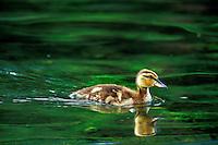 Mallard duck duckling