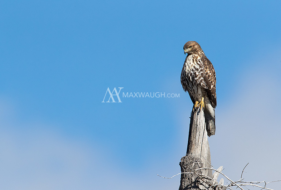 A young Red-tailed hawk searches for food in a meadow near Yellowstone Lake.
