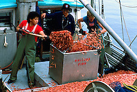 Unloading Shrimp Catch off a Commercial Fishing Boat in Tofino, on Vancouver Island, BC, British Columbia, Canada