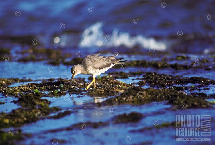 Wandering tattler (ulili), a migratory shorebird, feeding in tide pools, Kaua`i south shore near Poipu.