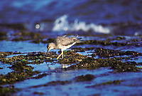 Wandering tattler (ulili), a migratory shorebird, feeding in tide pools, Kaua`i south shore near Poipu.