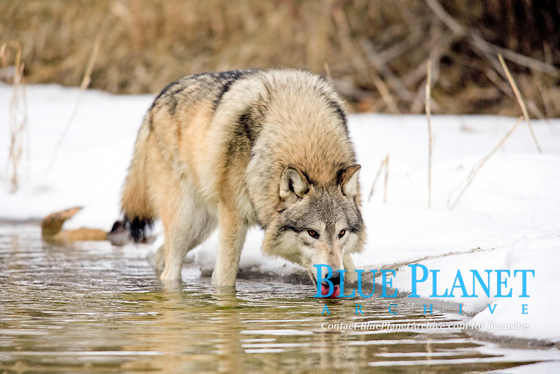 Wolf (Canis lupus), drinking water in the snow in winter, Montana, USA, North America