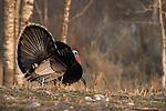 Male eastern wild turkey strutting in spring