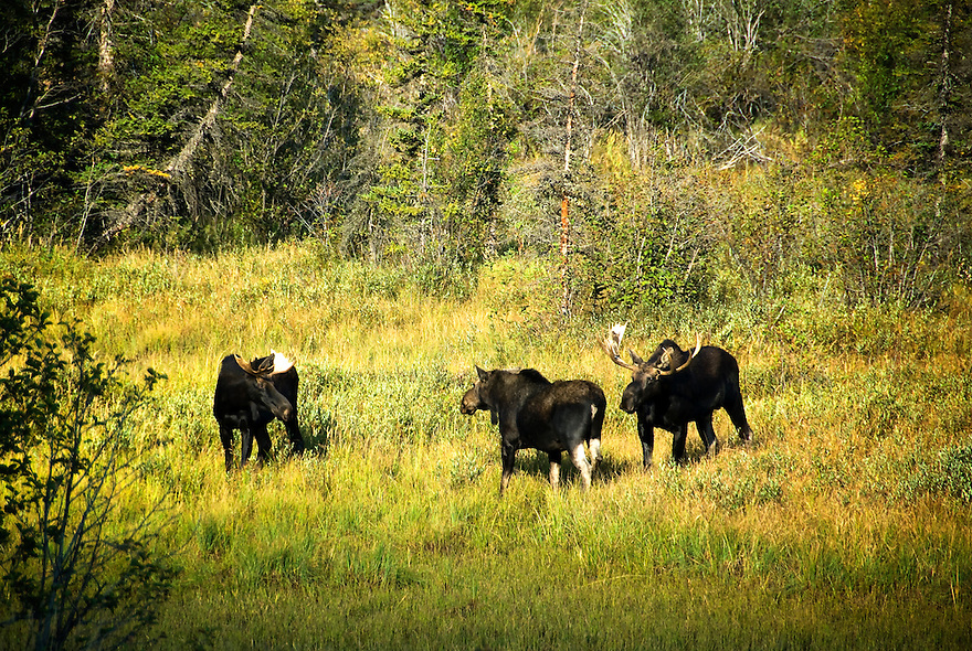 Two bull moose compete for the attention of a cow near East Rosebud Lake in the Absaroka-Beartooth Wilderness.