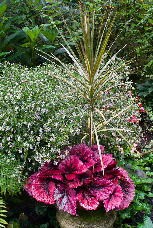 Begonia Chicago Fire, Dracaena Tricolor spikes, Aster, fern, cement urn pot container