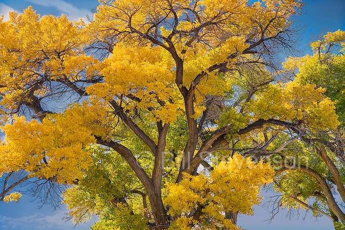 A picture of a cottonwood tree in fall color isn western Nevada
