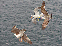 Yellow Legged Gulls, adult and juvenile (Larus michahellis)  in flight.....Copyright..John Eveson,.Dinkling Green Farm,.Whitewell,.Clitheroe,.Lancashire..BB7 3BN.Tel. 01995 61280.Mobile 07973 482705.j.r.eveson@btinternet.com.www.johneveson.com