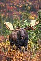 Bull Moose in autumn tundra, Denali National Park, Alaska