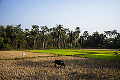 Cattles graze in the harvested fields in Shahpara village in Panchal block of Howrah district in West Bengal, India.<br /> Rukhsar Khatoon, India's last child in India paralysed by polio lives in this village.