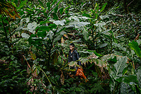 A man harvesting black cardamom (Thao Qua) at a plantation deep in the Hoang Lien Son National Park jungle. After a long trek into the jungle the arduous harvesting work must all done by hand followed by the walk out carrying the crops in sacks.