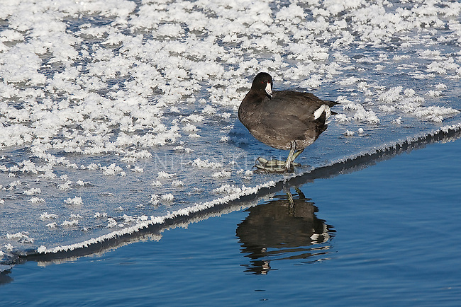 A coot standing on the edge of the ice on a frozen pond in Montana