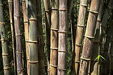 INDONESIA, Flores, large bamboo on the roadside near Wangka village