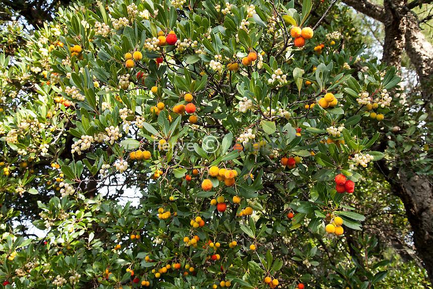 Domaine du Rayol en novembre : arbousier (Arbustus unedo) avec fruits et fleurs dans le jardin sauvage ou maquis.