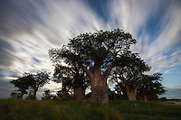 Baines' Baobabs under moving clouds