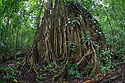 Aerial roots of a huge Stangler Fig {Ficus sp.}. The seeds of the strangler fig germinate high up in the branches of the host tree. Over time aerial roots decend to the forest floor and wrap tightly around the host tree's trunk. Eventually the host tree is outcompeted and dies. Once the host tree rots away, the strangler fig remains standing as a cage-like structure, as can be seen here. Corcovado National Park, Osa Peninsula, Costa Rica, May.
