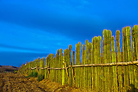A fence made of organ pipe cactus, near the Los Osuna Agave Distillery, near La Noria (near Mazatlan), Sinaloa, Mexico