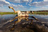 'Reflections of Death'-<br /> This bull giraffe died here on the shore of the Boteti River in Makgadikgadi National Park, Botswana. It is the end of October, the 'Season of Death' as I like to call it. Mostly though it is the drought combined with the heat that kills the weak and gives predators the advantage. In this case, with the river still holding water, it could impossibly have been the drought that killed this big bull giraffe. What did kill it remains a mystery. Despite the macabre nature of the scene I was interested in using the giraffe's unusual position and its reflection in a wide angle composition.