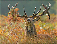 BNPS.co.uk (01202 558833)<br /> Pic: JonHawkins/BNPS<br /> <br /> Red deer stag gets caught up in the bracken.<br /> <br /> Photographer Jon Hawkins has reaped the benefits of many early morning starts this autumn with a stunning set of pictures from Bushy Park near Hampton Court of the magnificent Red Deer.