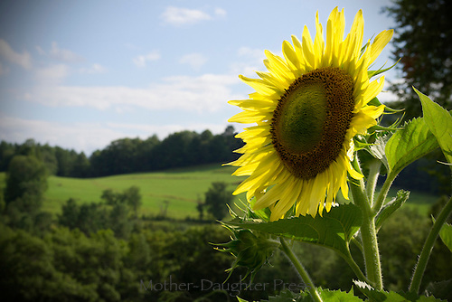 A summer sunflower blooms in front of green hills and summer fields of Vermont.