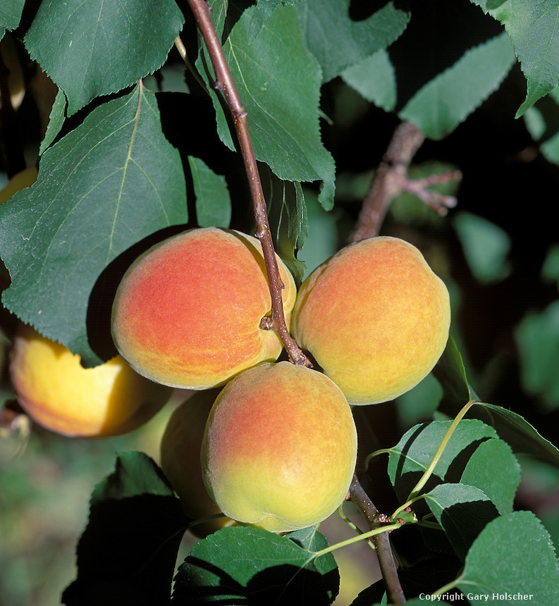 Apricots {Tilltons} on tree. WA