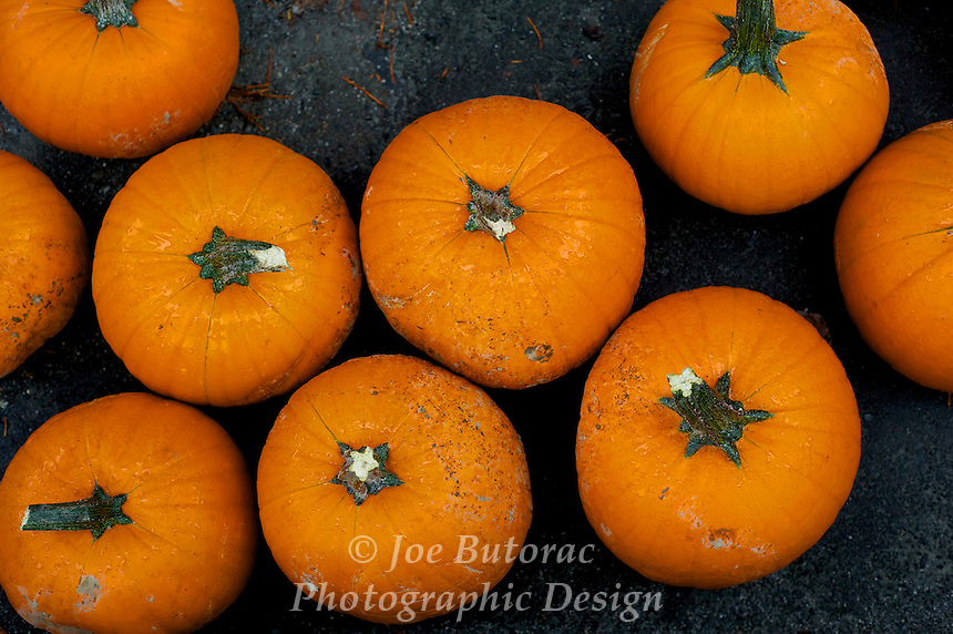 Pumpkins ready for throwing into the River during the Canoe Races, Fort Langley Cranberry Festival, Fort Langley B.C.