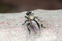 A Bee-like Robber Fly (Laphria flavicollis) perches on the trunk of a fallen dead oak tree.