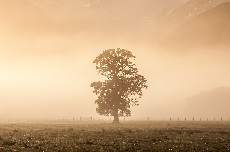 Large tree on a misty morning with mountains in the distance, Fox Glacier Flats. South Westland, New Zealand - stock photo, canvas, fine art print